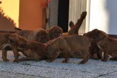 cuccioli-dogue-de-bordeaux-birba-09