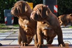cuccioli-dogue-de-bordeaux-birba-18