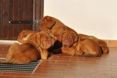 cuccioli-dogue-de-bordeaux-birba-19