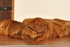 cuccioli-dogue-de-bordeaux-birba-20