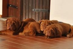 cuccioli-dogue-de-bordeaux-birba-21