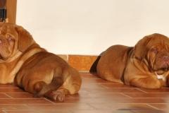 cuccioli-dogue-de-bordeaux-birba-22