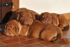 cuccioli-dogue-de-bordeaux-birba-24