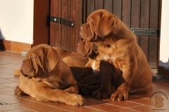 cuccioli-dogue-de-bordeaux-birba-25
