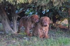 cuccioli-dogue-de-bordeaux-birba-29