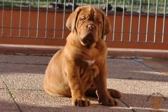 cuccioli-dogue-de-bordeaux-birba-364