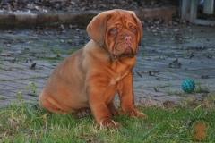 cuccioli-dogue-de-bordeaux-birba-384