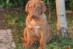 cuccioli-dogue-de-bordeaux-birba-395