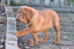 cuccioli-dogue-de-bordeaux-birba-399