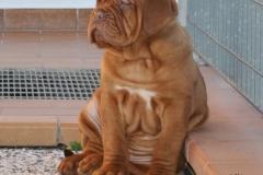 cuccioli-dogue-de-bordeaux-birba-416