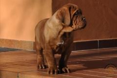 cuccioli-dogue-de-bordeaux-birba-422