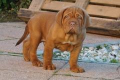 cuccioli-dogue-de-bordeaux-birba-424