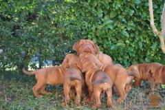 cuccioli-dogue-de-bordeaux-birba-87