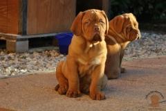 cuccioli-dogue-de-bordeaux-namibia-07