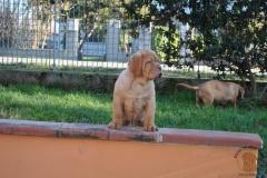 cuccioli-dogue-de-bordeaux-namibia-11