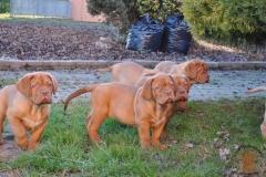 cuccioli-dogue-de-bordeaux-namibia-119