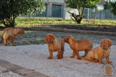 cuccioli-dogue-de-bordeaux-namibia-130