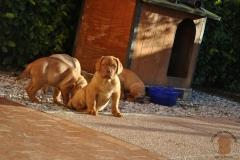 cuccioli-dogue-de-bordeaux-namibia-141