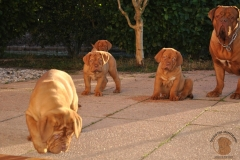 cuccioli-dogue-de-bordeaux-namibia-152