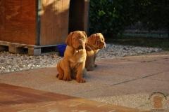cuccioli-dogue-de-bordeaux-namibia-162