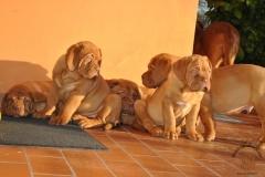 cuccioli-dogue-de-bordeaux-namibia-169