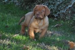 cuccioli-dogue-de-bordeaux-namibia-244