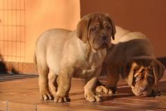cuccioli-dogue-de-bordeaux-namibia-247