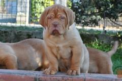cuccioli-dogue-de-bordeaux-namibia-248