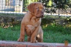 cuccioli-dogue-de-bordeaux-namibia-252