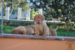cuccioli-dogue-de-bordeaux-namibia-74