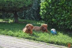 dogue_monticano_cuccioli_13