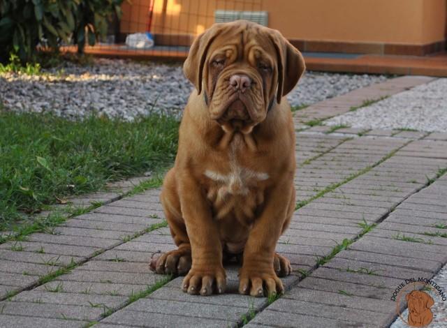 Dogue del Monticano - Allevamento cani Dogue de Bordeaux