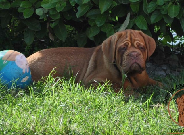 Our Dogue de Bordeaux