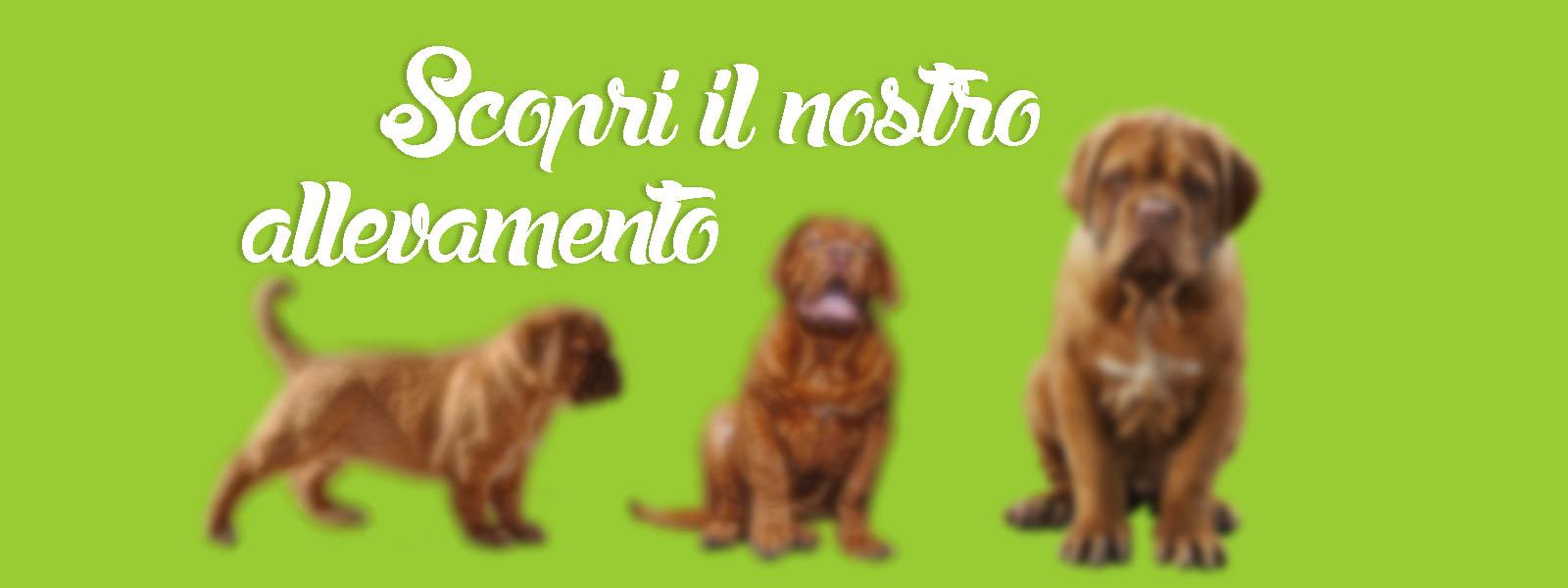 Allevamento Dogue del Monticano: slide2