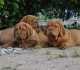 New puppies of Dogue de Bordeaux - January 2016