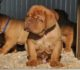 New Puppies of Dogue de Bordeaux 11th December 2016