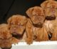 New Puppies of Dogue De Bordeaux - 24th October 2016